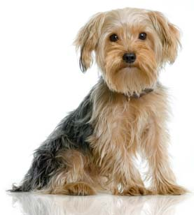 Who's this shaggy little fellow? Why, it's Yorkie, the