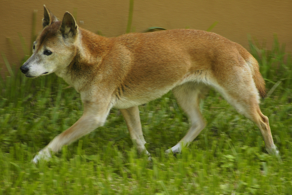 New Guinea Singing Dog | Dog Breeds of the World